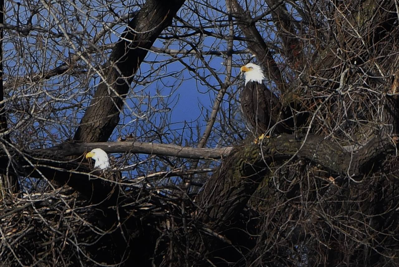 Ridgefield Park Bald Eagle's Nest