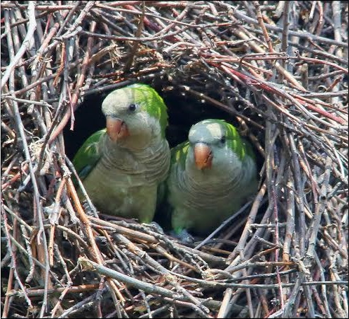 HELP PROTECT OUR MONK PARAKEETS !